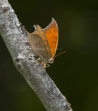 Goatweed Leafwing _MG_0811.jpg