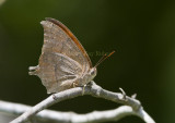Goatweed Leafwing _MG_0813.jpg