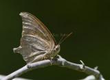 Goatweed Leafwing _MG_0815.jpg