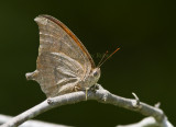 Goatweed Leafwing _MG_0817.jpg