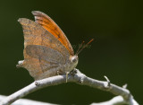 Goatweed Leafwing _MG_0818.jpg