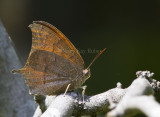 Goatweed Leafwing _MG_0823.jpg