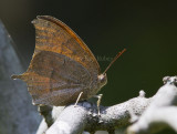Goatweed Leafwing _MG_0824.jpg