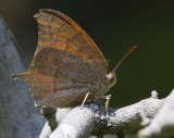Goatweed Leafwing _MG_0825.jpg