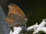 Goatweed Leafwing _MG_0826.jpg