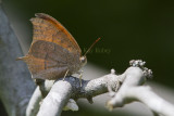 Goatweed Leafwing _MG_0827.jpg