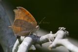 Goatweed Leafwing _MG_0834.jpg