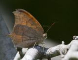 Goatweed Leafwing _MG_0838.jpg