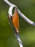 Goatweed Leafwing _MG_0841.jpg