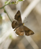 _ Fatal Metalmark _MG_0915.jpg