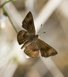 __Fatal Metalmark _MG_0914.jpg