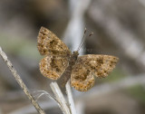 Fatal Metalmark _MG_0471.jpg