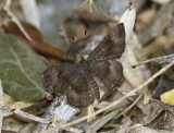 Fatal Metalmark _MG_0747.jpg