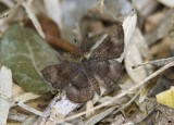 Fatal Metalmark _MG_0750.jpg