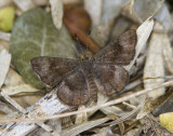 Fatal Metalmark _MG_0758.jpg