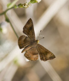 Fatal Metalmark _MG_0917.jpg