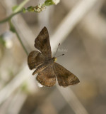 Fatal Metalmark _MG_0919.jpg