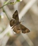 Fatal Metalmark _MG_0921.jpg
