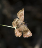 Fatal Metalmark _MG_2012.jpg