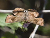 Fatal Metalmark _MG_2089.jpg