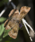 Fatal Metalmark _MG_2096.jpg