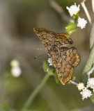 RED-BORDERED METALMARK (Caria ino)