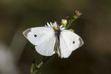 Cabbage White _MKR2185.jpg