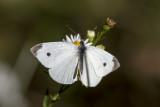Cabbage White _MKR2186.jpg