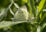 Cabbage White mating _MG_1011.jpg