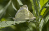 Cabbage White mating _MG_1013.jpg