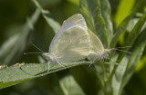 Cabbage White mating _MG_1014.jpg
