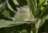 Cabbage White mating _MG_1022.jpg