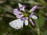 Eastern Tailed-blue _MG_0993.jpg