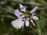Eastern Tailed-blue _MG_0994.jpg