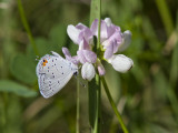 Eastern Tailed-blue _MG_1000.jpg