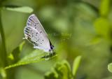 Eastern Tailed-blue _MG_1002.jpg