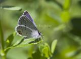 Eastern Tailed-blue _MG_1008.jpg