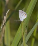 Eastern Tailed-blue _MG_1271.jpg