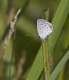Eastern Tailed-blue _MG_1273.jpg