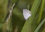 Eastern Tailed-blue _MG_1274.jpg