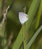 Eastern Tailed-blue _MG_1276.jpg