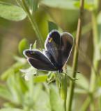 Eastern Tailed-blue female _MG_1278.jpg