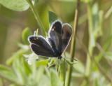 Eastern Tailed-blue female _MG_1280.jpg