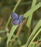 Eastern Tailed-blue _MG_1296.jpg