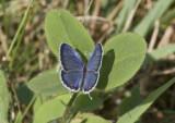 Eastern Tailed-blue _MG_1317.jpg