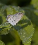 Eastern Tailed-blue _MG_2173.jpg