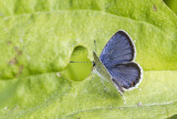 Eastern Tailed-blue _MG_2176.jpg