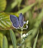 Eastern Tailed-blue _MG_2320.jpg