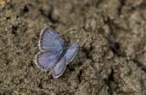 Eastern Tailed-blue _MG_2328.jpg