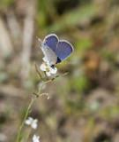 Eastern Tailed-blue _MG_2502.jpg